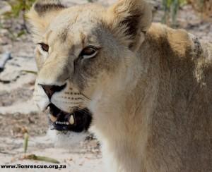 Aneta, Drakenstein Lion Park
