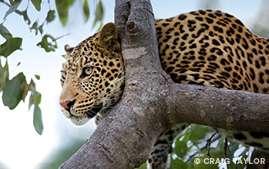 Panthera photograph